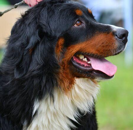 Bernese mountain dog or Bernese Shepherd on a walk on a summer day Stock fotó