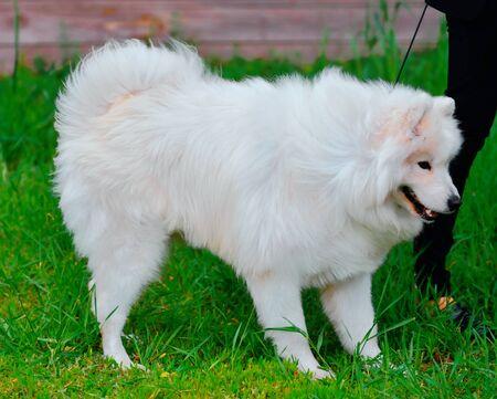 Dog breed Samoyed or Samoyed dog, Samoyed husky, Samoyed Spitz on a walk on a summer day