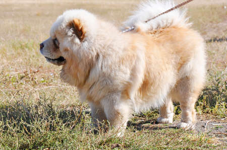 Dog breed chow-chow on a walk on a summer day