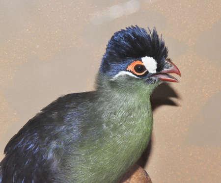 Bird Hartlaub's turaco (Latin. Tauraco hartlaubi), blue-thodoco tauraco - species of endemic birds for Africa of the family of Musophagidae Imagens