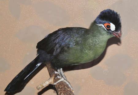 Bird Hartlaub's turaco (Latin. Tauraco hartlaubi), blue-thodoco tauraco - species of endemic birds for Africa of the family of Musophagidae Banco de Imagens