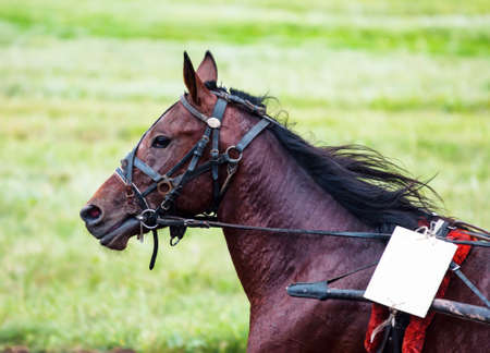 Race horse on the racetrack participates in the prize race