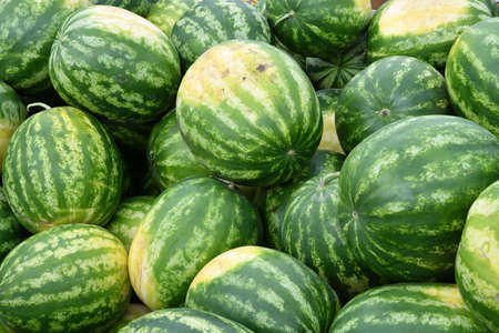 Ripe watermelons of the new harvest are sold in the bazaar