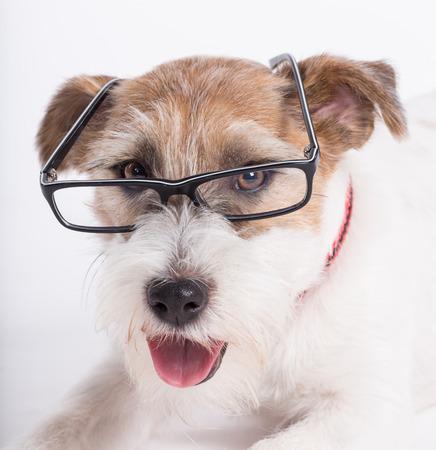 jack russell terrier: Jack Russell Terrier with glasses.