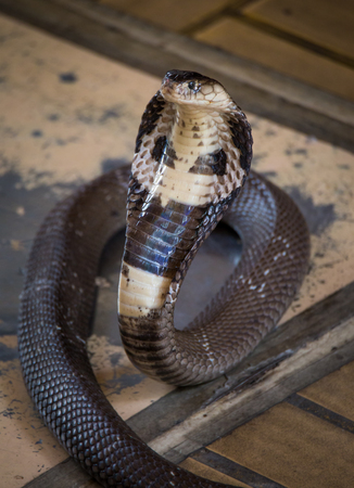King cobra looking for some spoil. Look dangerous. Exotic reptile