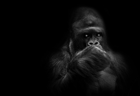 Male gorilla leader. Protector of the family, black and white portrait.