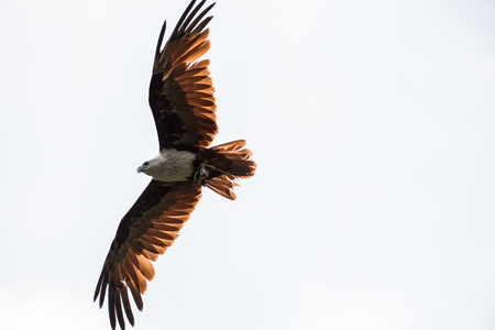 Flying Eagle In The Open Air With Wings Sky Stock Photo
