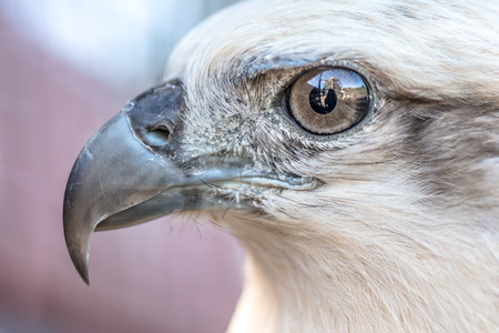 Eyes of a gray eagle close up. Malay, Philippines Stock Photo