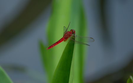 Red dragonfly on a close-up sheet. Singapore Stock Photo
