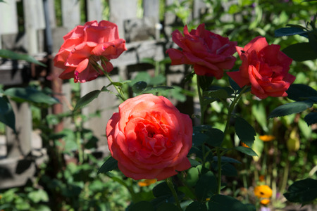 Beautiful homemade pink roses in the garden