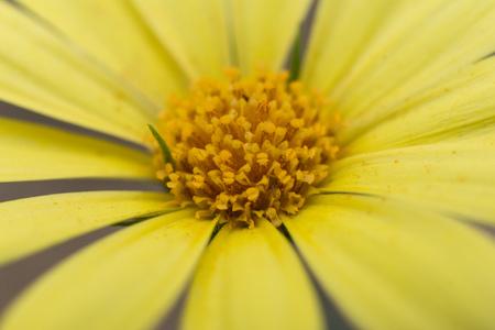 Yellow petals Oxford Ragwort