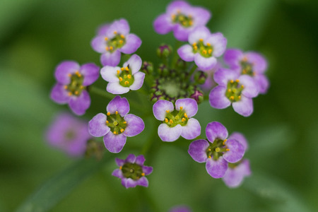 alison: Purple Flower Sweet Alissum