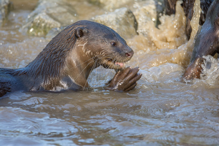 North American river otter eat fish in water Stock Photo