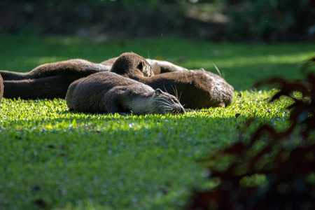 A flock of North American river otters lie on the grass. Tired otters rest (sleep) on the lawn