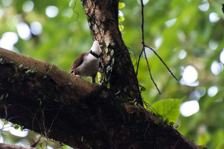 A brown bird with a white tuft sitting on a tree and holding a grass in its beak