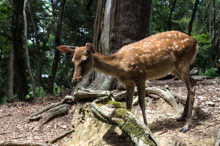 A small deer without horns walks through the forest. Full-grown, close-up view