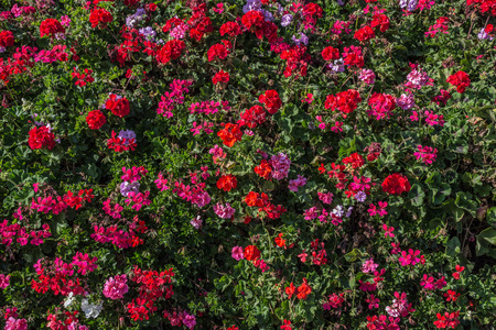 Pink flowers on a bush. Bright little flowers on the streets of Valencia. Beautiful outdoor flower beds in Spain