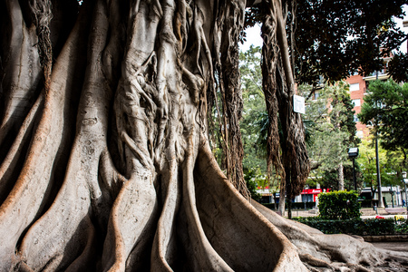 View of the huge tree roots, Valencia Spain. Old Woven Roots