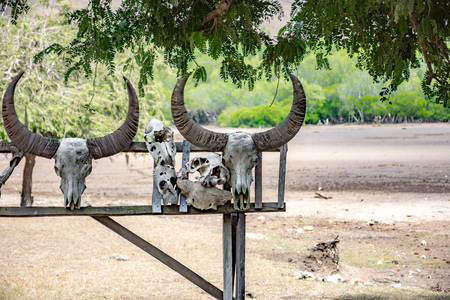 The skeleton of an animal. The head of a dead buffalo with horns hangs on a fence Stock Photo