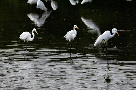 흰 왜가리 무리가 물 속에 서 있습니다. 다리가 길고 부리와 부리가 많은 흰 새 스톡 콘텐츠