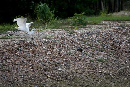 흰 왜가리가 하늘로 솟아 오른다. 다리가 긴 아름다운 새