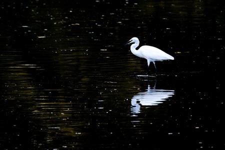 흰 왜가리가 물 속에 서 있습니다. 바다와 야생 동물 사이에서 다리가 긴 새 스톡 콘텐츠