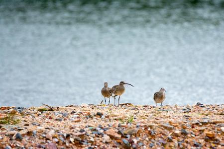 curlew 새를 무리. 긴 부리를 가진 새의 무리는 모래 해변에 서