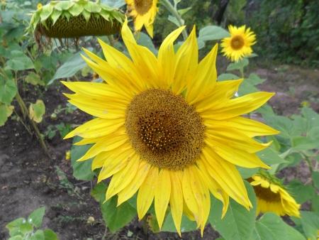 inflorescence: inflorescence flowering sunflower Stock Photo