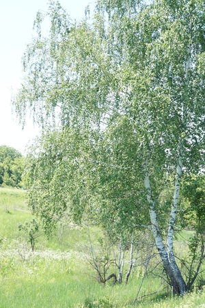green meadows: Summer landscape, birch on the edge of the green meadows