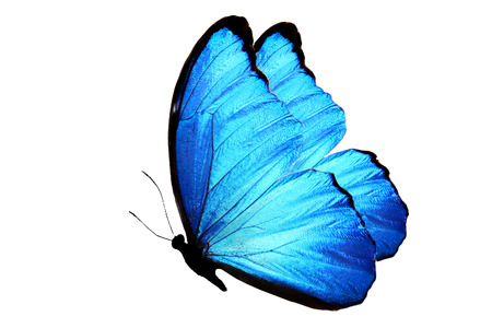 flying butterfly with blue wings isolated on white background