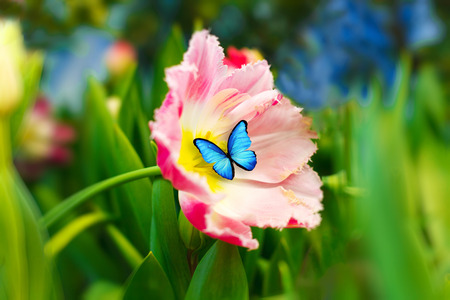 a blue butterfly sits on a flower. pink tulip