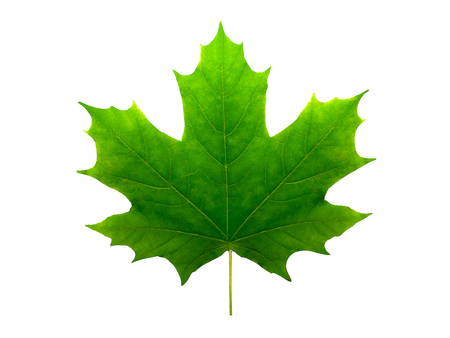 green maple leaf isolated on white background Stock Photo