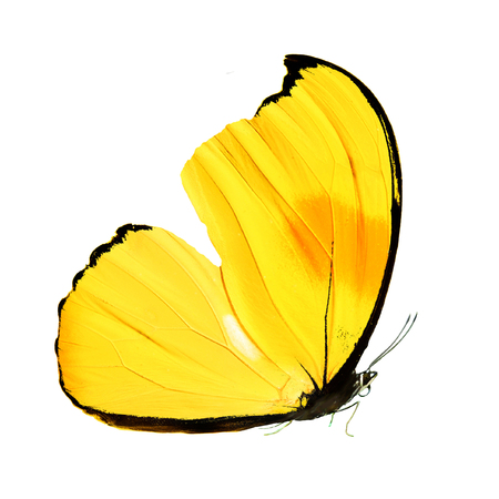 butterfly with yellow wings and paws. isolated on white background