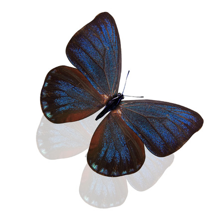blue butterfly. breed of eumaeus. isolated on white background Stock Photo