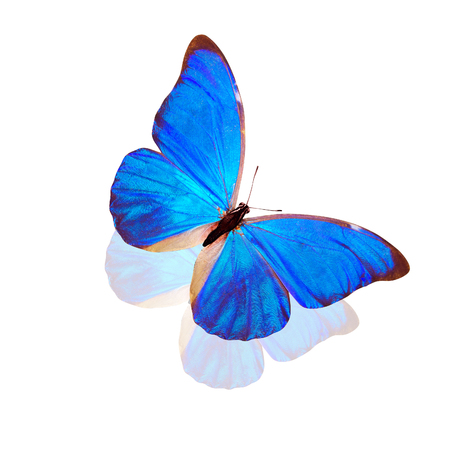 tropical blue butterfly Morpho anaxibia. isolated on white background Stock Photo