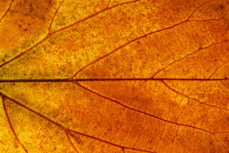 beautiful maple leaf. background for design. High quality photo