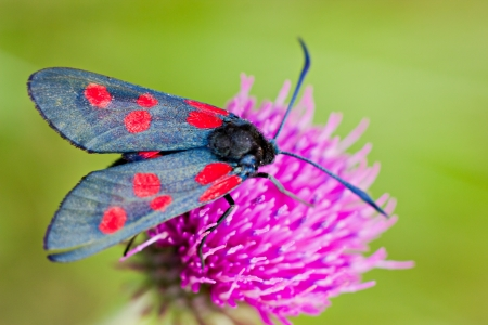 Butterfly with black and red wings on the clover flower Stock Photo - 16181048