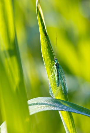 Green lacewing on the plant by summer Stock Photo - 16180814