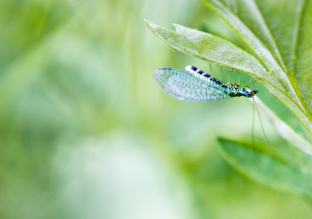 chrysopidae: Green lacewing on the plant by summer