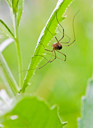 opiliones: The harvestman spider on the green plant by summer Stock Photo