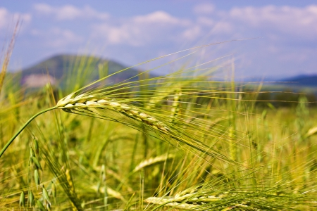 The green wheat field by the summer photo