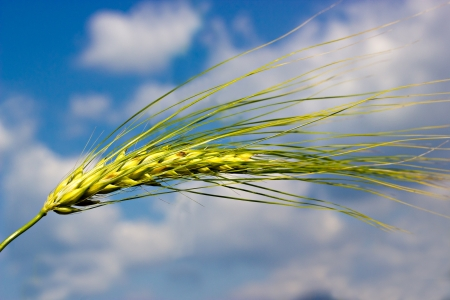 The green wheat ear in the field by summer photo