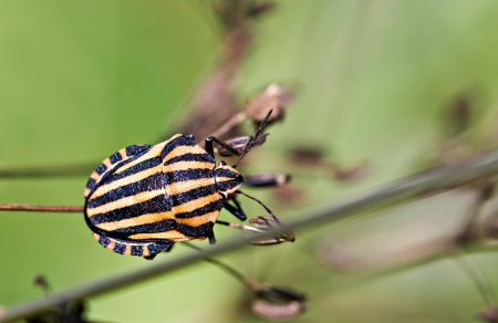 Italian Striped Bug on the plant by summer photo