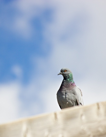 The grey dove on the roof against the blue clouded sky photo