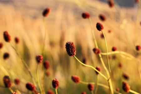 sanguisorba: The Sanguisorba medicinal plant in the field Stock Photo