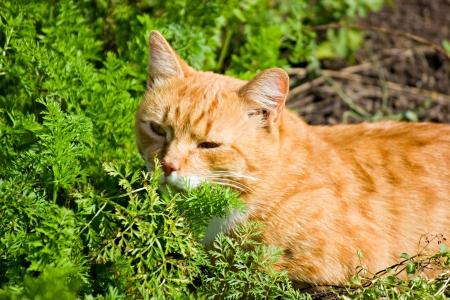 rufous: The rufous male cat in the green grass enjoying