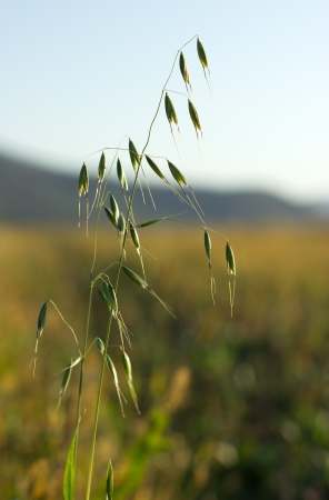 Green oat ears in the field by the autumn photo