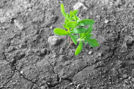 germinate: Green plant growing on the dry cracked soil