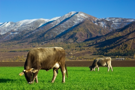 Cows feeding in the field of the winter crops photo