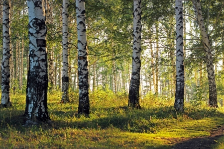 birch trees: Birch grove with shadows from afternoon sunlight